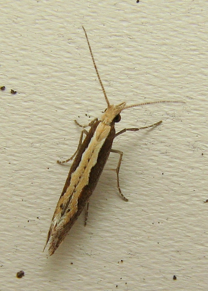 The diamondback moth is believed to cost the agriculture industry $4 billion worldwide.
