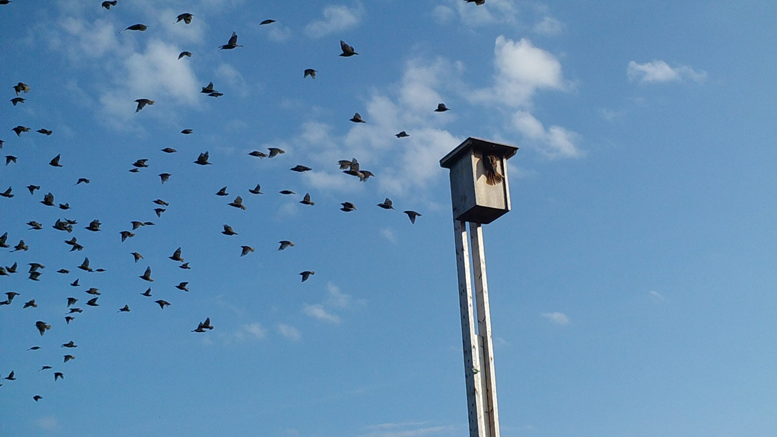 A flock of starlings take off as a kestrel arrives back at its nest box at one of the research trial sites.