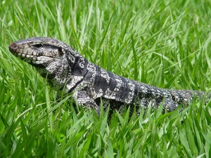 A tegu lizard in the grass.
