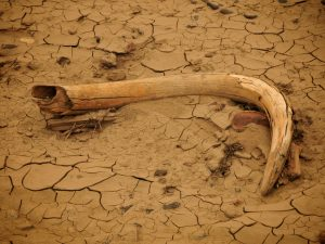Woolly Mammoth bone