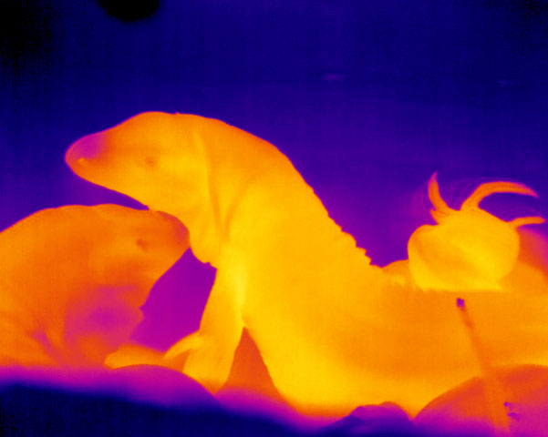 """Brock University's photo """"Burning Love"""" is a thermal image of two tegu lizards, one rubbing its head against the other."""